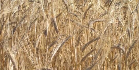 Wheat Coeliac Gluten Free